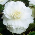 Begonia Double Giant Collection 5/6cm