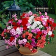 Impatiens Collection (Garden Ready)
