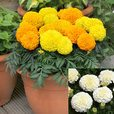 Marigold Collection (Garden Ready)