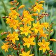 Crocosmia Sunglow