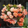 Begonia Splendide Collection