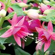 Fuchsia Patio Fairy Cherry