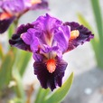Iris Dwarf pumila Collection
