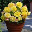 Begonia Mighty Mini Yellow