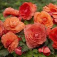 Begonia Mighty Mini Orange