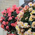 Begonia Sweet Spice Mixed