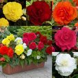 Begonia Double Collection 4cm+