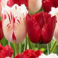 Tulip Red Wing