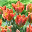 Tulip Viridiflora Collection