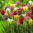 Tulip Mixtures Collection