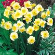 Narcissi Rockery and Patio Collection