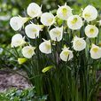 Narcissi bulbocodium Petticoat (White)