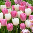 Tulip Pink Clearwater