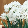 Narcissi Paperwhite