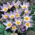 Crocus Species Winter Flowering Collection