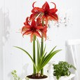 Amaryllis Unusual Collection 26cm+