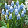 Muscari Collection