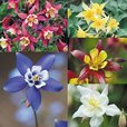 Aquilegia Star Collection