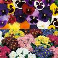 Pansy/Polyanthus Collection (Garden Ready)