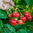 Strawberry Honeoye (Early Season)