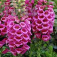 Digitalis Hardy Regal Red
