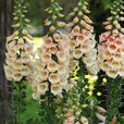 Digitalis Apricot Beauty