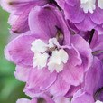 Delphinium Magic Fountains Cherry Blossom