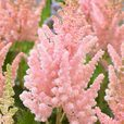 Astilbe chinensis Vision Collection