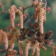 Corylus Collection
