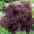 Cotinus Collection