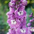 Delphinium Magic Collection