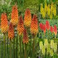 Red Hot Poker Collection (Kniphofia)