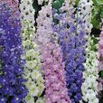 Cottage Garden Perennial Collection