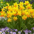 Dwarf Rockery Narcissi Collection