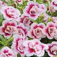 Calibrachoa Calita Double Pink Bicolour