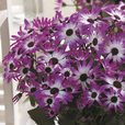 Senetti Bi-Colour Magenta