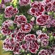 Dianthus Sunflor Supercolour Bianca