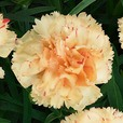 Dianthus Sunflor Supercolour Bling Bling