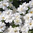 Bacopa Scopia Double Collection