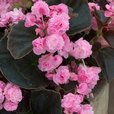Begonia semp. Doublet Collection