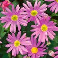 Brachyscome Surdaisy Strawberry Pink