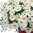 Brachyscome Surdaisy White Improved