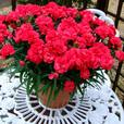 Dianthus Patio Devine Red