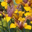 Iris Dutch Bronze Perfection 7/8cm