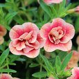 Calibrachoa Double Can Can Apricot Red Eye