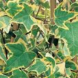Hedera Gold Child