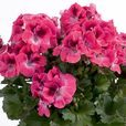 Geranium Aristo Collection