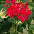 Geranium Pelgardini Happy Thought Red