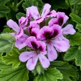 Geranium Scented Collection