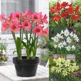 Amaryllis Sonatini Mixed (Outdoor)